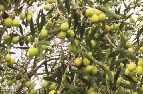 Seydikemer Kabaağaç Olive Tree